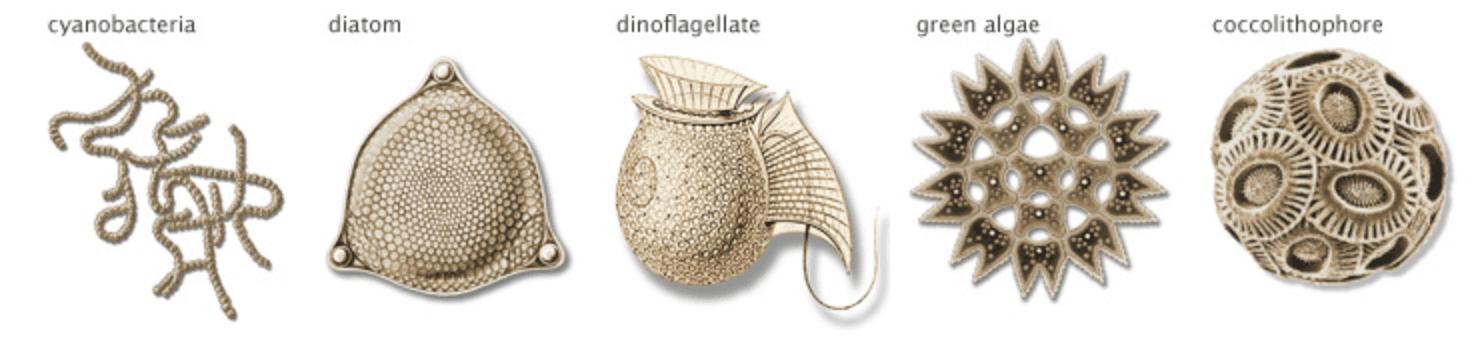 Phytoplankton illustrations
